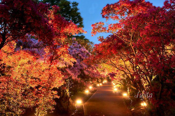 つつじのトンネルは、ライトアップも絶景!小室山公園つつじ祭り