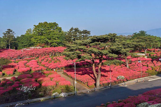 広大な園内が、つつじ一色に染まる!小室山公園つつじ祭り