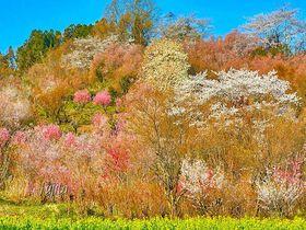 桃源郷は「手前」にあり!福島市・花見山公園の桜、絶景ポイントと撮影方法