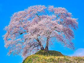 福島・あぶくま桜回廊の絶景花見名所5選!三春滝桜と併せて見たい一本桜|福島県|トラベルjp<たびねす>