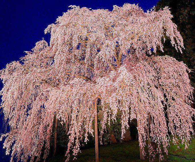 皆の善意を感じて温かい気持ちになる!合戦場のしだれ桜のライトアップ