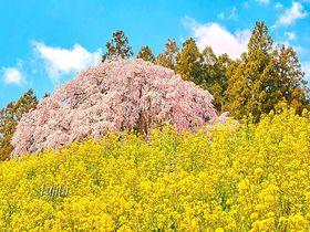 三春滝桜に匹敵する孫桜の絶景!合戦場のしだれ桜〜福島県二本松市〜