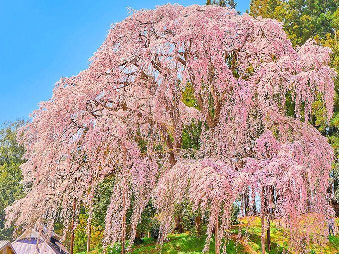 三春滝桜と遜色ない絶景!合戦場のしだれ桜