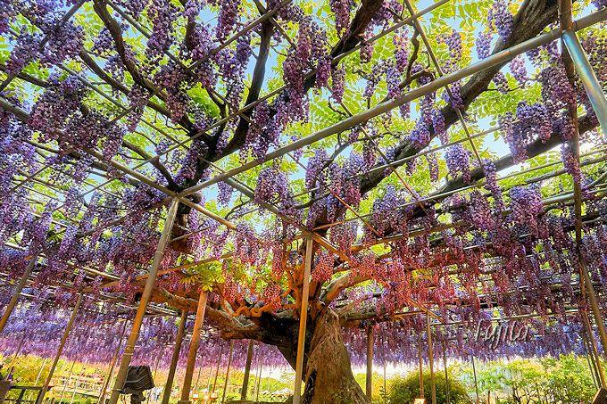 ブドウのような日本一の八重藤棚!あしかがフラワーパークの八重黒龍