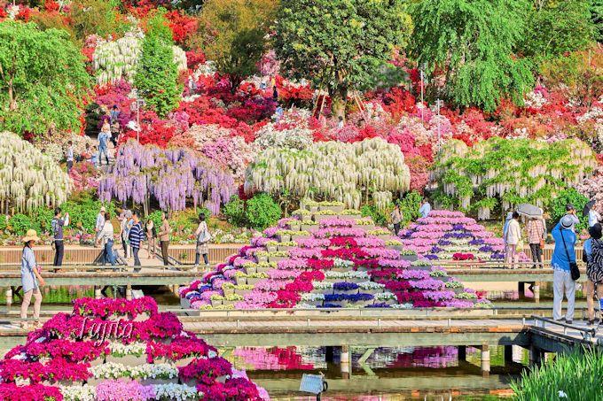 紫藤や白藤とつつじの絶景コラボ!あしかがフラワーパーク