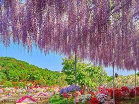 GWが一番の見頃!あしかがフラワーパーク・大藤とつつじの絶景コラボ|栃木県|トラベルjp<たびねす>