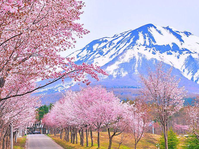 総延長20km!世界一の桜並木と岩木山の絶景コラボ〜青森県弘前市〜