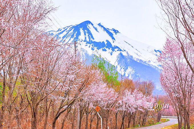 岩木山と桜並木がコラボ!弘前市「世界一長い桜並木」