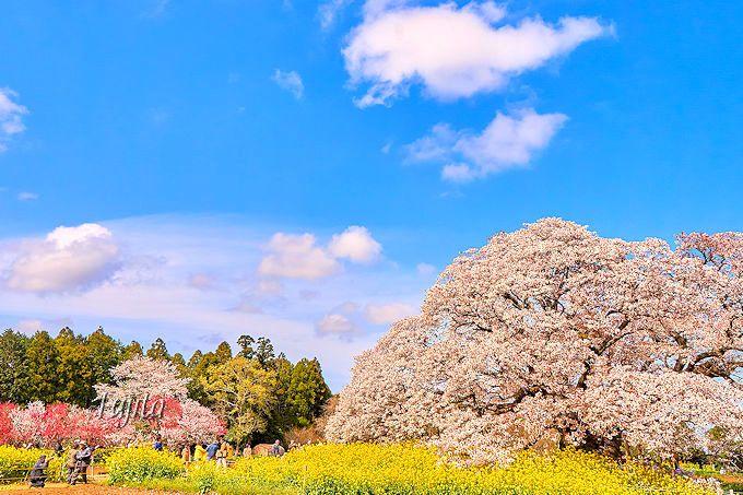 吉高の大桜は、穴場ながら人気の花見名所