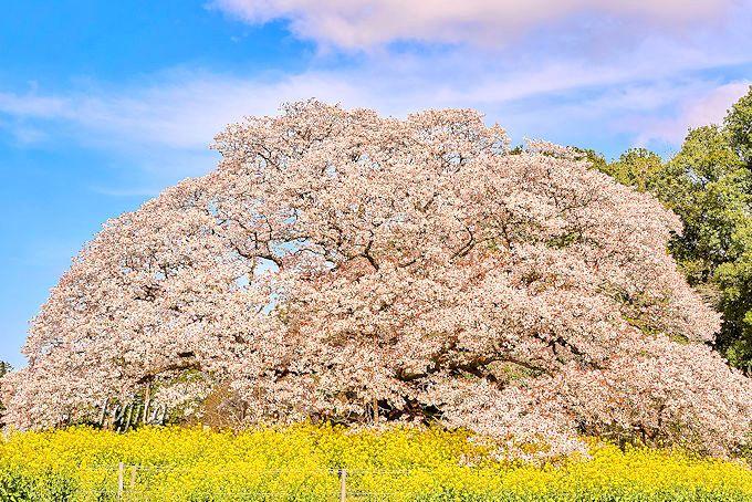 吉高の大桜は、美しい樹形が最大の魅力