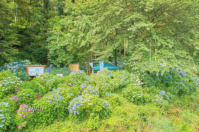 知られざる紫陽花の名所!群馬県渋川市・小野池あじさい公園は必見