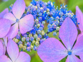 知られざる紫陽花の名所!群馬県渋川市・小野池あじさい公園は必見|群馬県|トラベルjp<たびねす>
