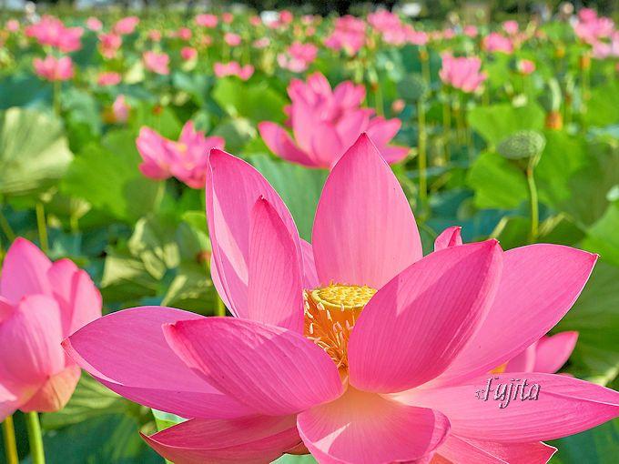 行田市にある美しい蓮の名所「古代蓮の里」
