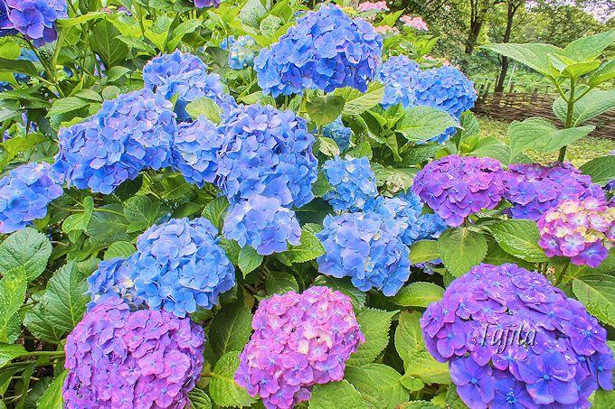 紫陽花やバラが見頃!千葉県立「北総花の丘公園」