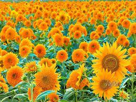 八重ひまわり日本一100万本!茨城「明野ひまわりフェスティバル」は関東を代表する名所|茨城県|トラベルjp<たびねす>
