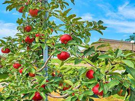 100円で本場青森のりんご狩り?弘前市りんご公園は市営なので少量でもOK!|青森県|トラベルjp<たびねす>