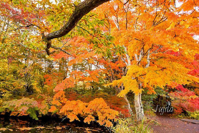 赤や黄やオレンジのグラデーション!雲場池外側の紅葉にも注目しよう