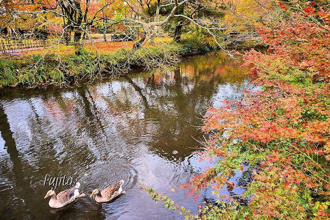 紅葉と同時に水鳥も愛でよう!