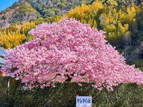 本場の河津桜は大迫力!伊豆・河津町のおすすめ一本桜を一挙紹介|静岡県|トラベルjp<たびねす>