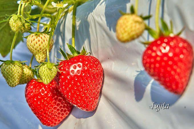 イチゴの品種は「ロイヤルクイーン」が断然おすすめ!