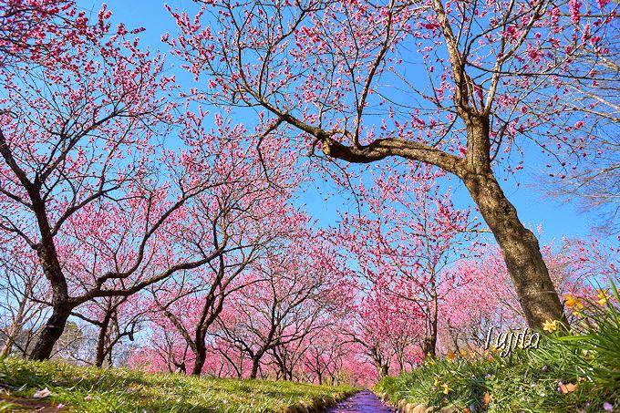 「古河桃まつり」花桃と小川のコラボ!
