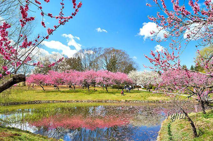 花桃に囲まれた「浄円坊の池」も必見!