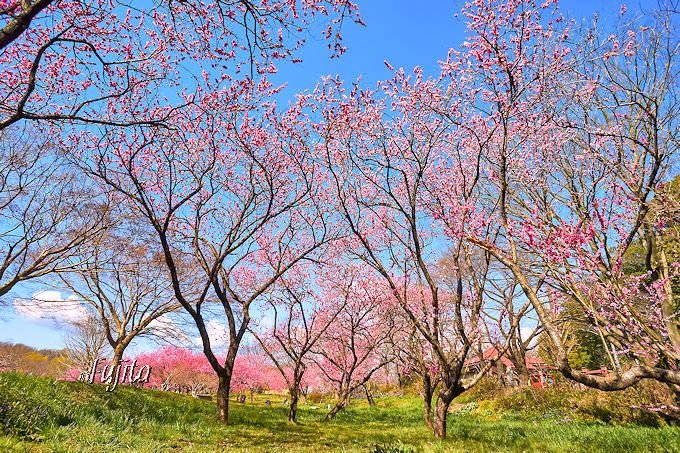 「古河桃まつり」駐車場裏手は、一面の緑と桃林が美しい!