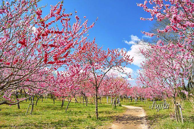 美しい花桃の林は、夢のような桃源郷!