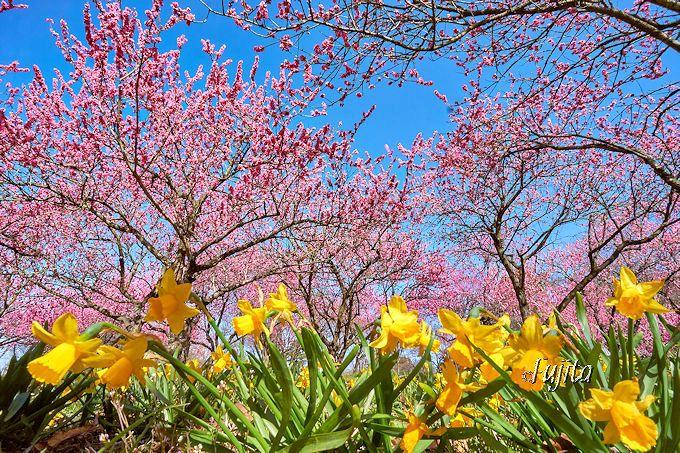 一番のおすすめ!花桃と水仙のコラボ