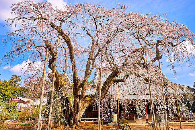 長光寺のしだれ桜(山武市)は、妙宣寺のしだれ桜と合わせて楽しめる!