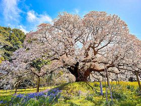 お花見は混雑しない穴場で快適に!千葉県の一本桜5選