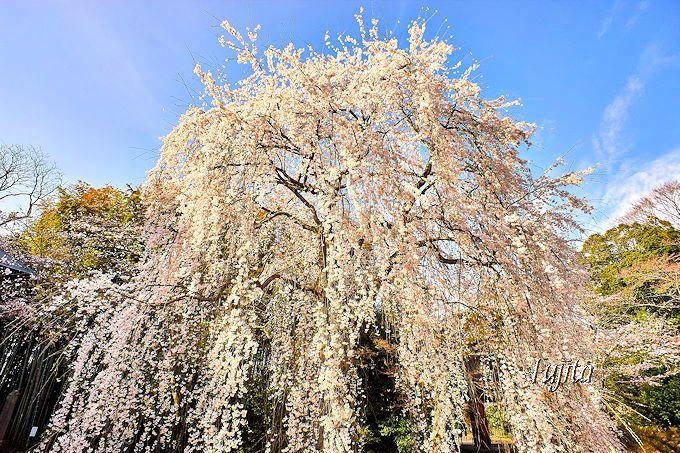千葉市中心部から一番近い!栄福寺のしだれ桜(千葉市若葉区)