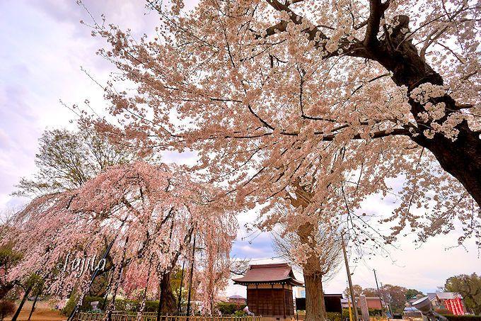 ライトアップも楽しめる!清龍院のしだれ桜(流山市)