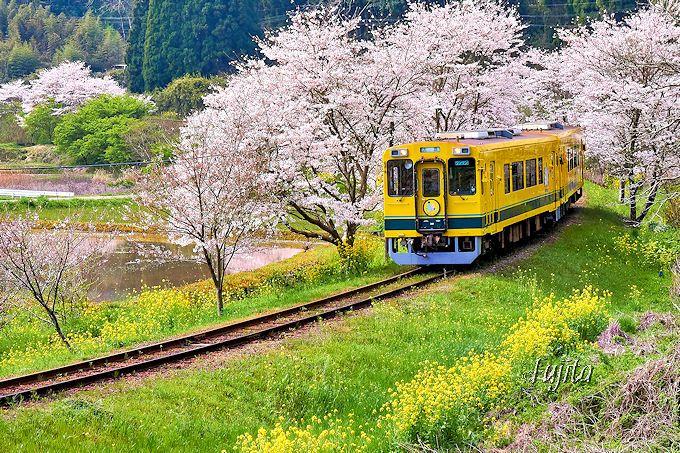 いすみ鉄道の「桜と菜の花」が光り輝く!東総元駅西カーブ
