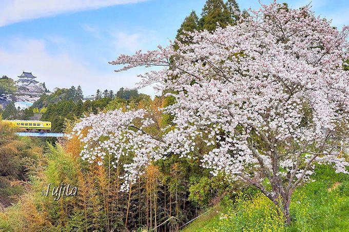 いすみ鉄道の「桜と菜の花」に大多喜城もコラボ!