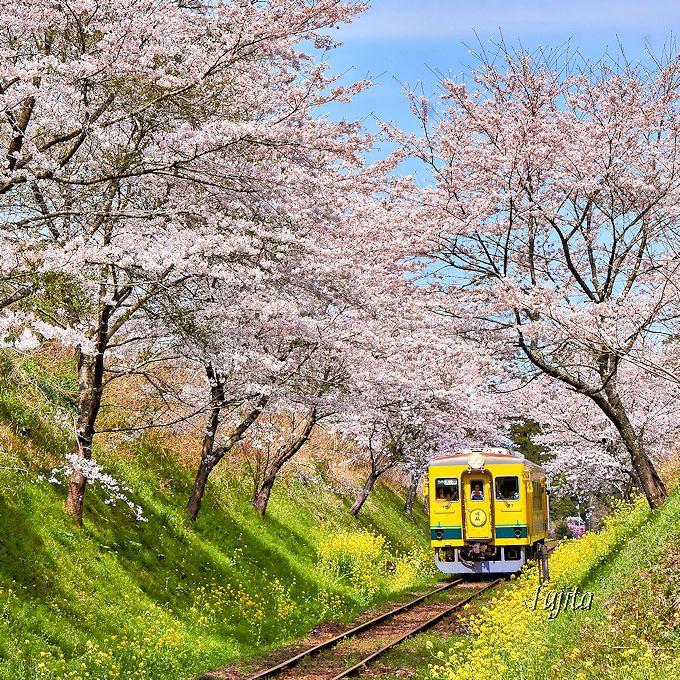 まさに「桜と菜の花」のトンネル!西畑駅南東・通称「切り通し」