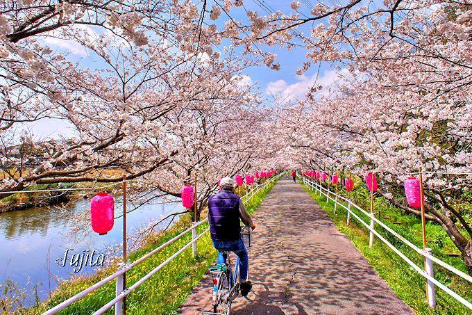 サイクリングロードが絶景の桜並木に!花見川の桜(千葉市花見川区)