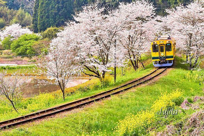 千葉の春を代表する絶景!いすみ鉄道「桜と菜の花」(いすみ市・大多喜町)