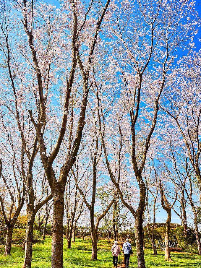 昼間も夜桜ライトアップも絶景!佐倉城址公園の桜(佐倉市)