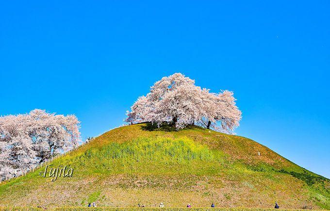 まるで桜のアート作品!さきたま古墳公園(行田市)