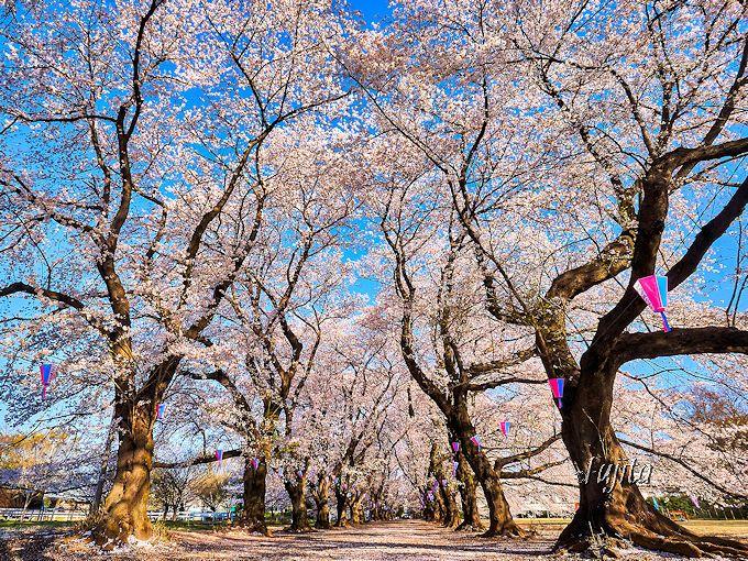 知る人ぞ知る穴場でお花見!無線山桜並木(伊奈町)