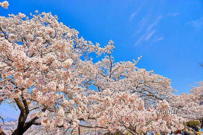 レジャーシート必携!大法師公園の桜は圧倒的な花数が凄い