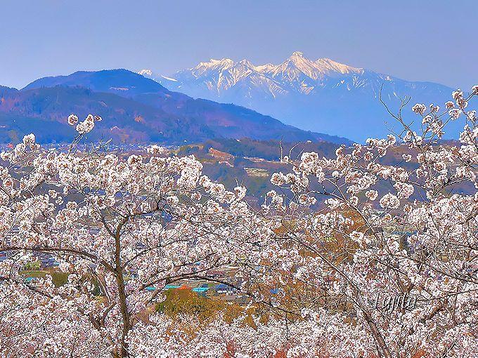 富士山の反対側では八ヶ岳が桜とコラボ!