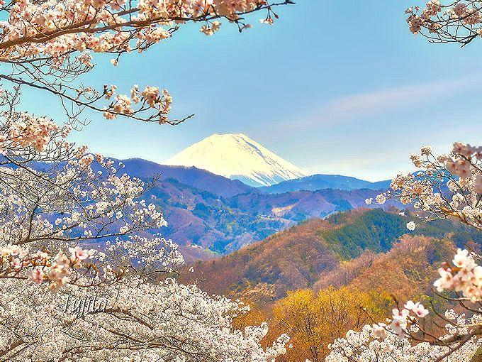 桜と富士山の絶景コラボで知られる大法師公園