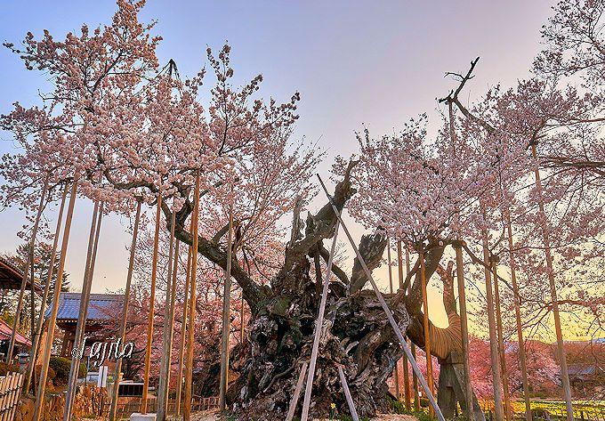 樹齢2000年の風格に圧倒される!山高神代桜