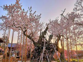 樹齢2000年のパワースポット!山梨「山高神代桜」は日本最古の一本桜|山梨県|トラベルjp<たびねす>