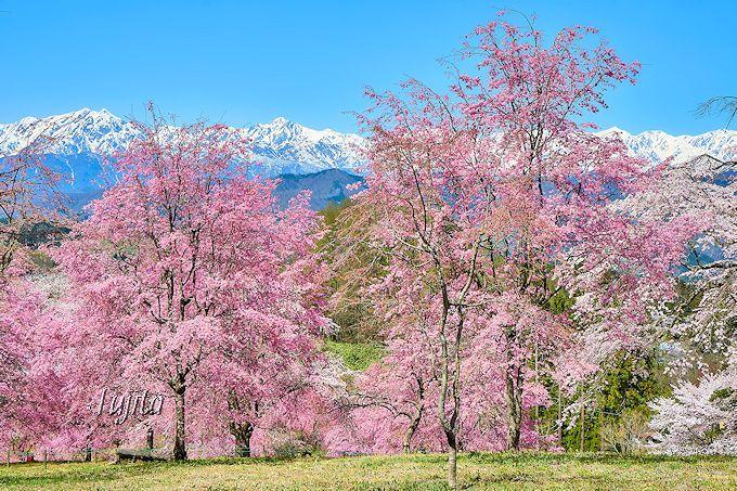 北アルプスと桜山の絶景!「番所の桜」と「立屋の桜」~長野県小川村~