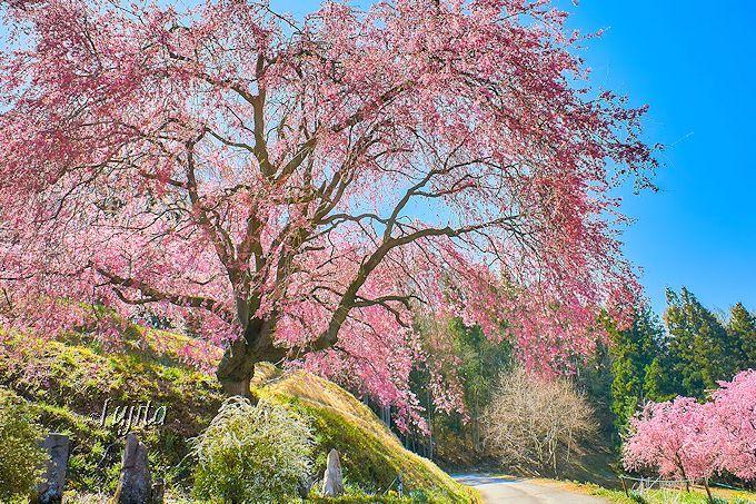 美しい紅枝垂れ桜!番所の桜