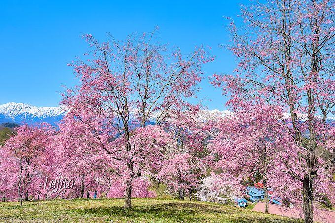 北アルプスと桜の絶景コラボ!桜山は穴場の花見名所