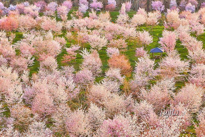 日本屈指の桜の絶景!裏磐梯・桜峠